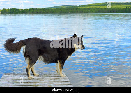 Lapponian herder (Lapinporokoira or Lapp Reindeer dog or Lapsk Vallhund)  against blue lake. Finnish Lapland - Stock Photo