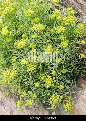 UK perennial wild flower, Rock samphire, Crithmum maritimum, growing on a sea cliff at Ilfracombe, Devon - Stock Photo