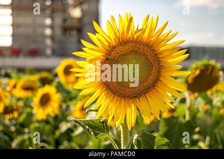 Urban bright yellow sunflowers against contruction site in city - Stock Photo