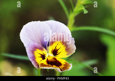 Pansy Multicolored Pansies Background Purple - Stock Photo