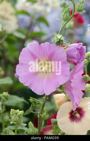 Alcea rosea 'Halo pink'. Hollyhock 'Halo pink' flowers at a flower  show. UK - Stock Photo