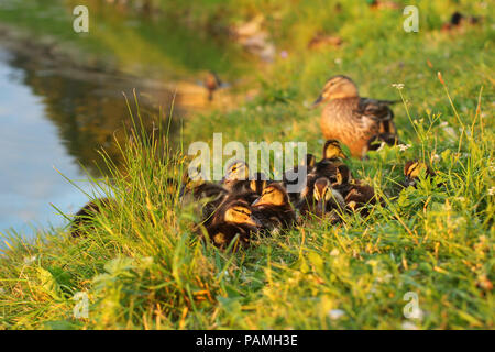 Little mallards (Anas platyrhynchos) getting ready to sleep, with mother duck in background, sunset light. - Stock Photo