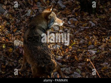 wolf in the last ray of sun, Abruzzo - Stock Photo