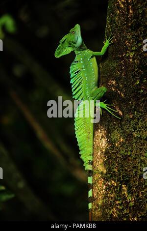 Emerald basilisk in Tortuguero national park - Stock Photo