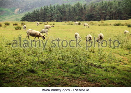 Sheep grazing on open pasture at Greenfield, Oldham, Saddleworth, UK. Summer July 2018 - Stock Photo