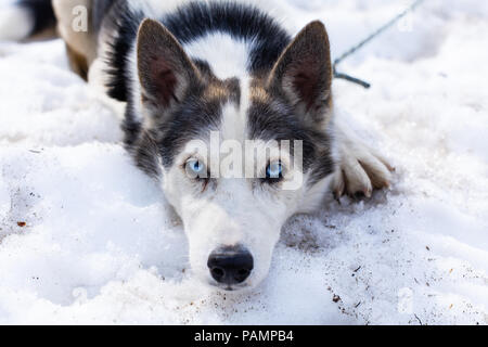 Playful alaskan husky dog looks straight into the camera while laying in snow - Stock Photo