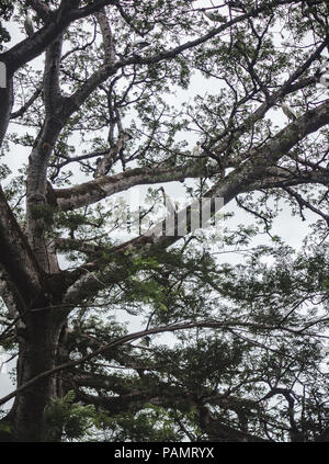 Flock of white herons rest in a tree on a cloudy day in Costa Rica - Stock Photo