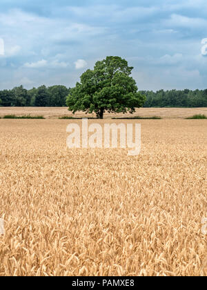 Lone tree in a ripe wheat field at harvest time near Knaresborough North Yorkshire England - Stock Photo