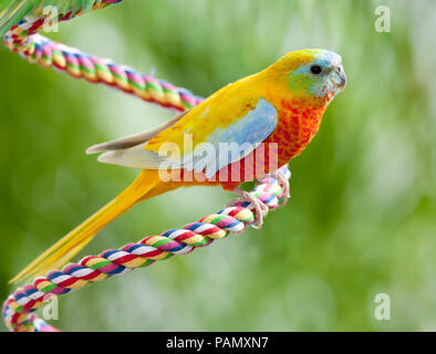 Turquoise Parrot (Neophema pulchella). Adult bird perched on a rope. Germany. - Stock Photo
