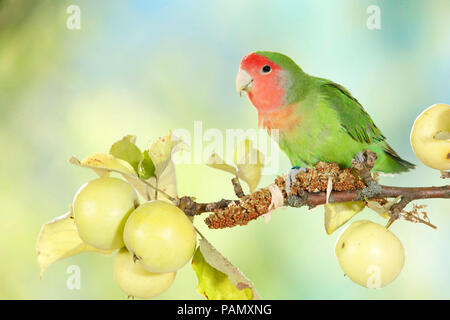 Rosy-faced Lovebird (Agapornis roseicollis) perched on a twig with ripe apples. Germany - Stock Photo