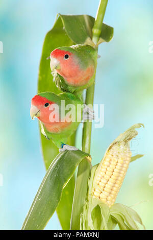 Rosy-faced Lovebird (Agapornis roseicollis). Couple on a maize stalk. Germany. - Stock Photo
