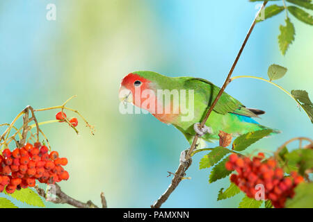 Rosy-faced Lovebird (Agapornis roseicollis). Adult bird perched on twig with ripe Rowan berries. Germany. - Stock Photo