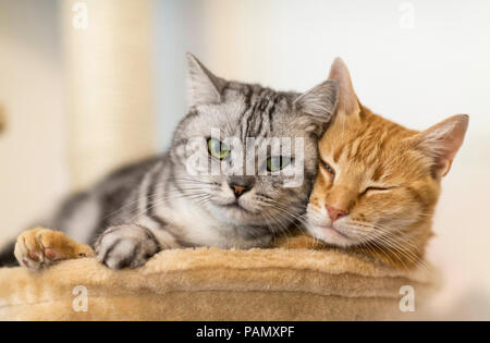 British Shorthair and domestic cat. Two adult cats lying next to each other on a pet bed. Germany . - Stock Photo
