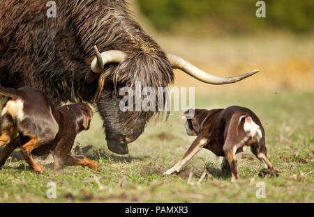 Australian Working Kelpie. Two adult dogs herding cattle  (Highland Cattle ?). Lower Saxony, Germany. - Stock Photo