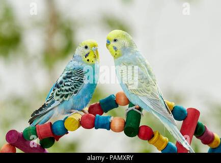 Rainbow Budgerigar, Budgie (Melopsittacus undulatus). Two adults standing on a multicolored toy. Germany - Stock Photo