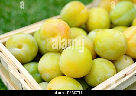 Basket full of the picked greengage or green plums on the ground in lawn. - Stock Photo