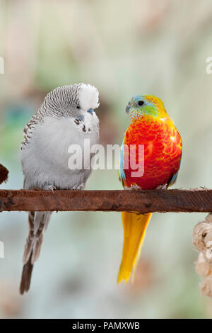 Turquoise Parrot (Neophema pulchella) and Budgerigar, Budgie (Melopsittacus undulatus) on a perch. Germany. - Stock Photo