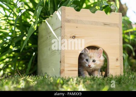 Norwegian Forest Cat. Tabby kitten in a wooden hide in a garden. Germany