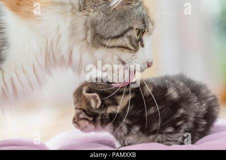 Norwegian Forest Cat. Mother grooming kitten (5 weeks old). Germany,