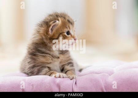 Norwegian Forest Cat. Tabby kitten (5 weeks old) on a blanket. Germany, - Stock Photo