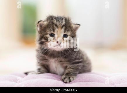 Norwegian Forest Cat. Tabby kitten (5 weeks old) lying on a cushion. Germany,