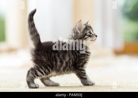 Norwegian Forest Cat. Tabby kitten (7 weeks old) standing on a rug. Germany