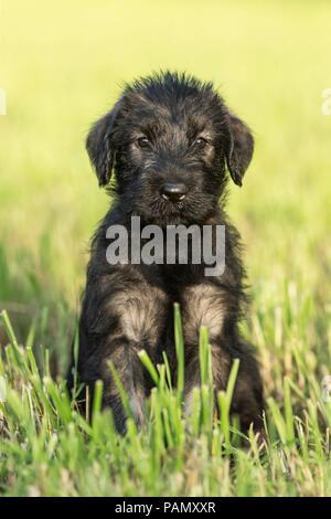Giant Schnauzer. Puppy sitting on a meadow. Germany - Stock Photo