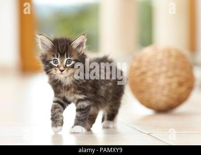 Norwegian Forest Cat. Kitten walking on tile floor. Germany