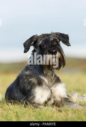 Giant Schnauzer. Adult dog lying on grass. Germany - Stock Photo