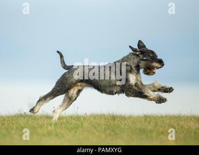 Giant Schnauzer. Adult dog running on grass. Germany - Stock Photo