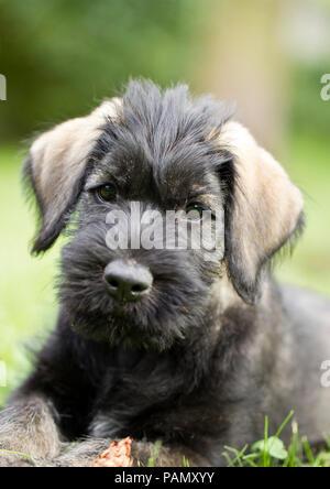 Giant Schnauzer. Portrait of a puppy. Germany. - Stock Photo