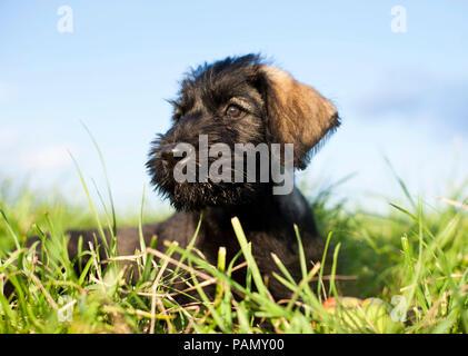 Giant Schnauzer. Puppy lying on a meadow. Germany - Stock Photo