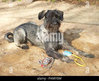Giant Schnauzer. Adult dog lying in a sand box. Germany - Stock Photo