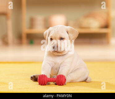 Labrador Retriever. Puppy (6 weeks old) sitting next to red toy bone. Germany - Stock Photo