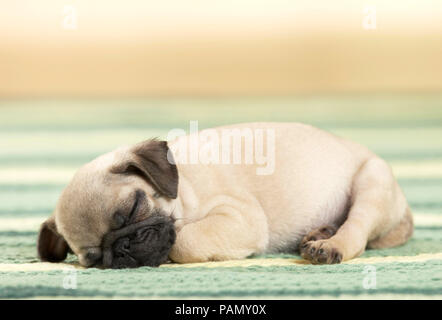 Pug. Puppy sleeping on a rug. Germany - Stock Photo