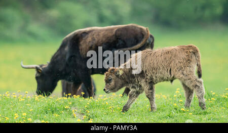 Recreated Aurochs, Heck Cattle (Bos primigenius primigenius). Cow and calf on a meadow. Germany - Stock Photo