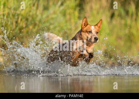 Australian Cattle Dog running through splashing water. Germany.. - Stock Photo