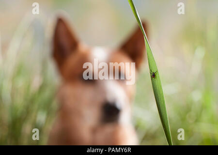 Castor Bean Tick (Ixodes ricinus). Female on a blade of grass with Australian Cattle Dog in background. Germany - Stock Photo
