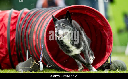 Australian Cattle Dog runs through a tunnel in an agility course Germany .. - Stock Photo