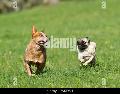 Australian Cattle Dog and pug running in a meadow. Germany. - Stock Photo