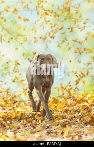 Weimaraner. Adult dog walking in leaf litter. Germany - Stock Photo