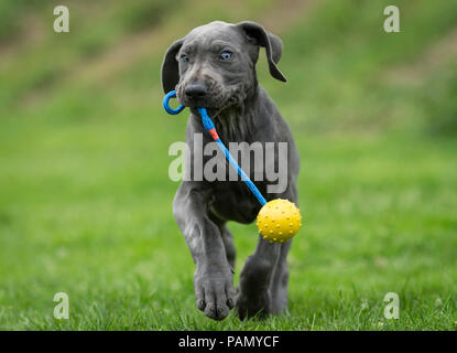 Great Dane. Puppy playing with a ball on a string. Germany . - Stock Photo