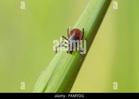 Castor Bean Tick (Ixodes ricinus) on a blade of grass. Germany - Stock Photo