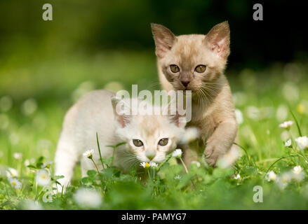 Burmese cat. Two kittens on a meadow with flowering daisies. Germany - Stock Photo