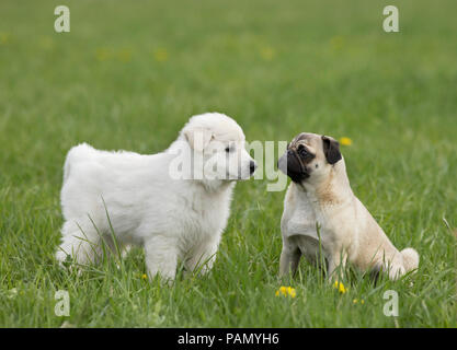 White Swiss Shepherd Dog. Puppy standing next adult pug on a meadow. Germany - Stock Photo