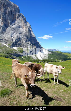 Cows in a meadow close to the top of Ciampinoi cable car above Selva, with Sassolungo mountain and the Chain of Sciliar, Val Gardena, Dolomites, Italy - Stock Photo