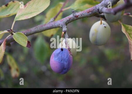 Branch of an English Plum Tree - Stock Photo