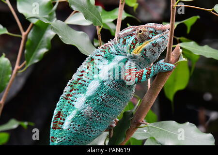 A colorful chameleon walks around its environment showing off its beauty. - Stock Photo