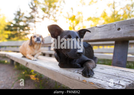 two dogs laying on wooden bench in the park - Stock Photo