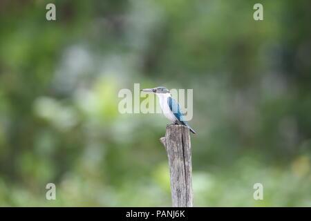 Collared Kingfisher (Todiramphus chloris) in Sabah, Borneo, Malaysia - Stock Photo